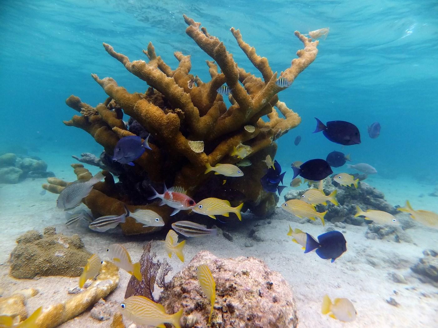 Elk horn coral